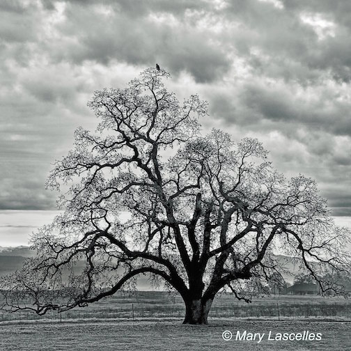 Bird's Eye View © Mary Lascelles (square format, black and white version) An old, formidable valley oak tree captivated my imagination daily at our last home. A spectacular tree with so much character, it gave us much pleasure throughout the year watching it go through the seasonal changes. Here it is in its fine winter attire -- with a bird sitting on top of the world on the top of it.