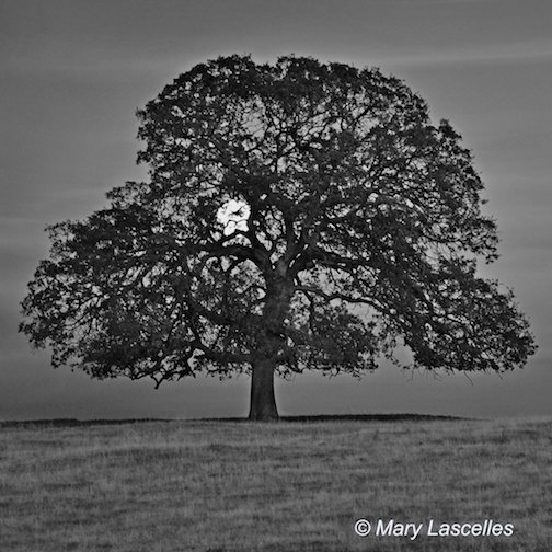 Good Night Moon © Mary Lascelles  (square format, black and white version) If you know Millville Plains Road in Shasta County, you probably are familiar with this tree. It seems the world is as I've seen it posted on Instagram by people who don't live in the area but they've heard about the tree. It's amazing. On this evening, I was saying 'good night' to the moon as it rose and I was headed home.