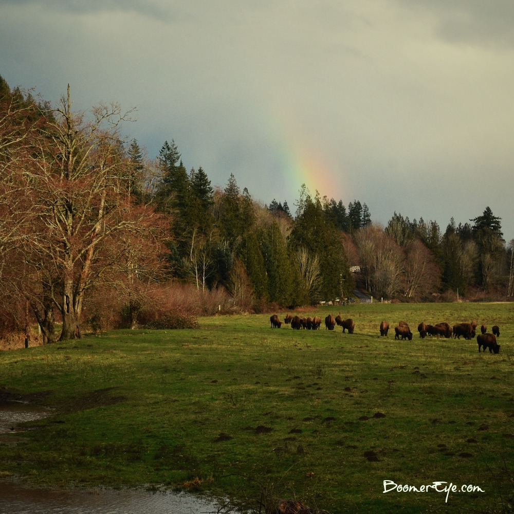 WHERE THE BUFFALO ROAM - NEAR CONCRETE Caught totally by surprise by a herd of buffalo at the end of a rainbow near Concrete. Really? :-) This was something we HAD to pull over for.