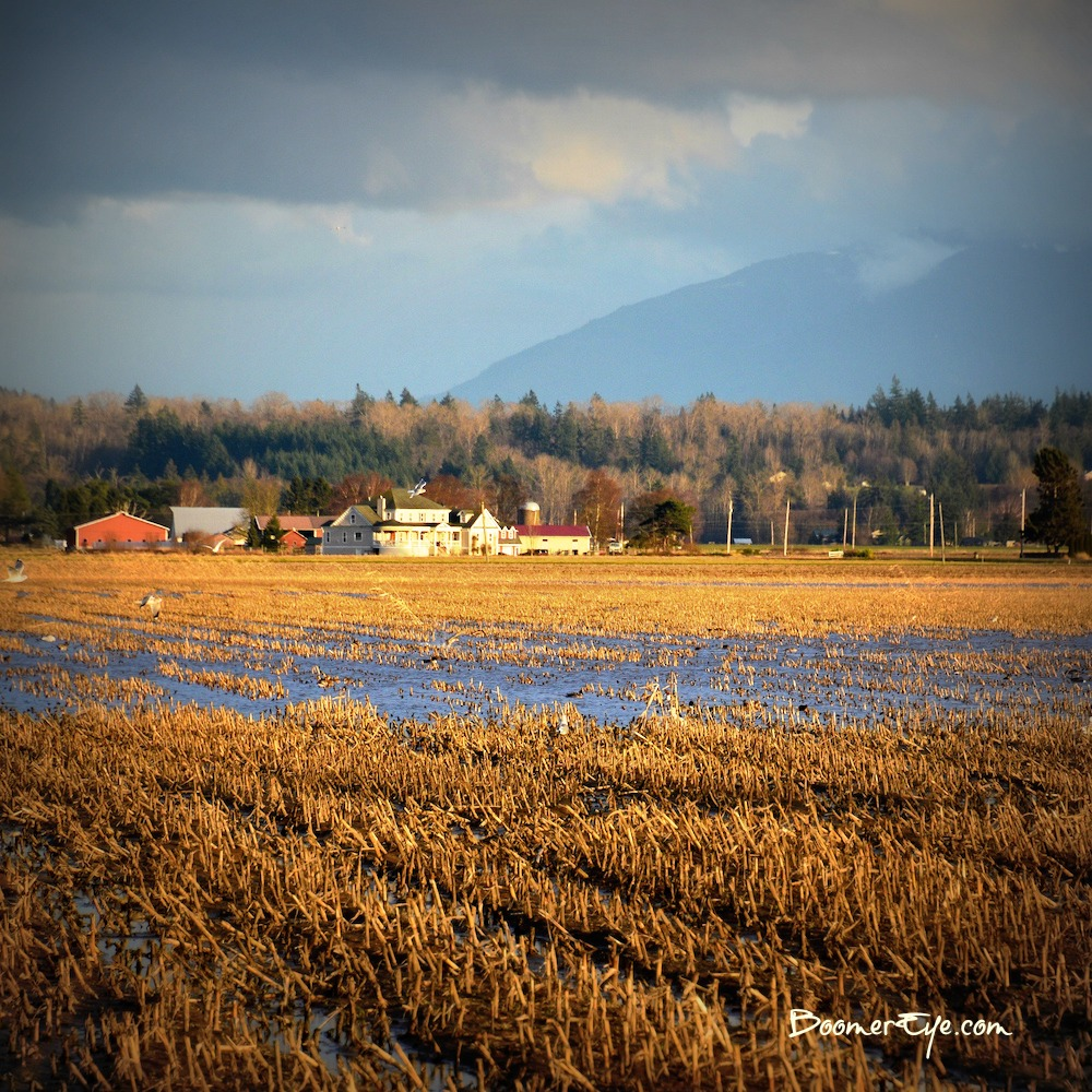 WINTER FIELDS in SKAGIT COUNTY The fields in Skagit County have been a fascination to us. Every month, they look different. One individual told us there are over 200 different crops grown here. I haven't confirmed that but I don't doubt it from what we see. Love it, love it, love it. The palate of colors and textures are so rich!