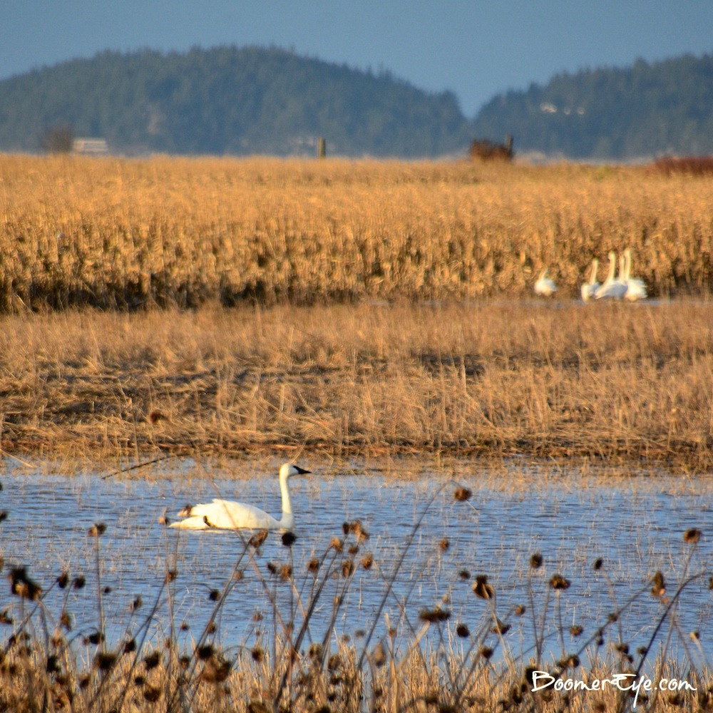 TRUMPTER SWANS, TOO! Skagit County is a bird mecca. My one wish was that the roads were wider to pull over when I see something as we're driving along. It isn't always feasible.