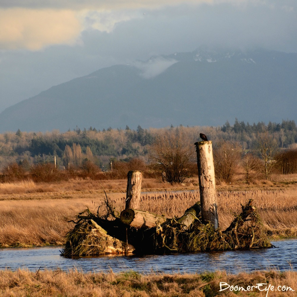 SAMISH FLATS BIRDING Calling all birders, there's plenty to see around the Samish Flats in Skagit County. The light was superb around 4pm on this January day.