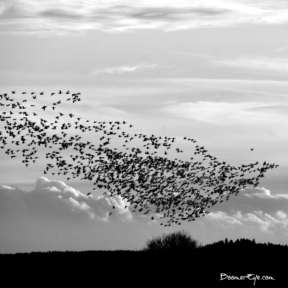 SNOW GEESE in SKAGIT VALLEY One of the delights of being in Skagit County in the Pacific Northwest during winter are sights like this -- 1000's of Snow Geese making their way to another feeding ground. I mentioned the fields and many crops in the area so they have many to choose from. I see these GEESE making a DOVE formation. Do you?