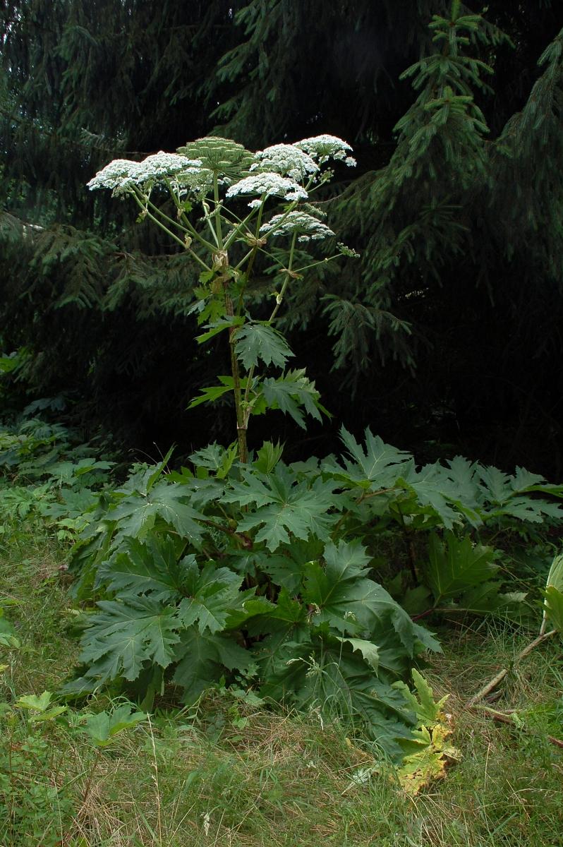Giant Hogweed. photo source: wikipedia.com