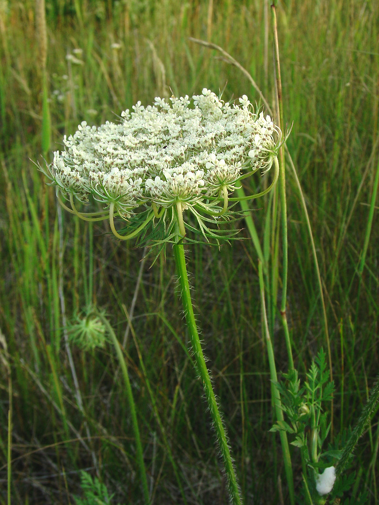 Queen Anne's Lace. photo source: gobotany.newenglandwild.org