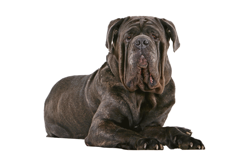 photo credit: http://www.akc.org/dog-breeds/neapolitan-mastiff/