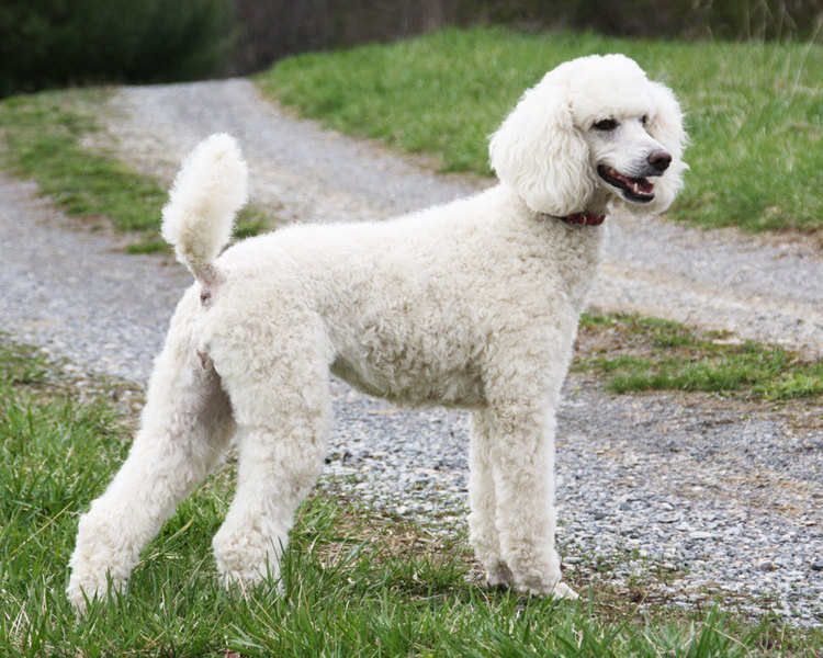 Poodle Archie Brindletons Interwebsnet Clubhouse For Friendlypals