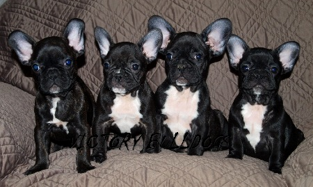Archie (2nd from right) with his litter sisters (*photo by Victory Bulldogs)