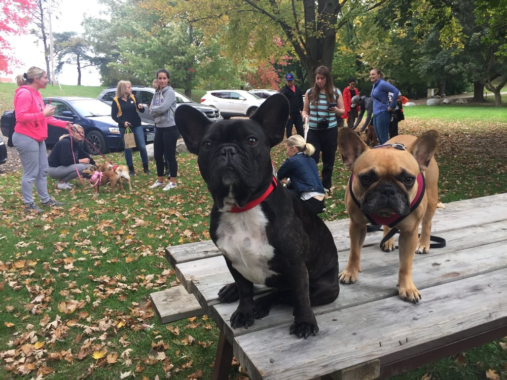 Alla our Frenchiefriends are getting ready to DOOP DEE DOOP!!