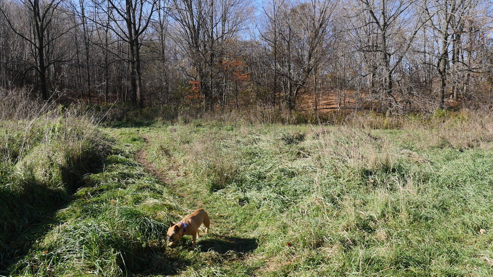I like this field, guys!! We made a picturemovie here one times of Mirabelle's firstest time at Meadowlilly Woods!! Do you 'member!!?? She was chasing Mum through the ticklegrass!! Hee hee!!