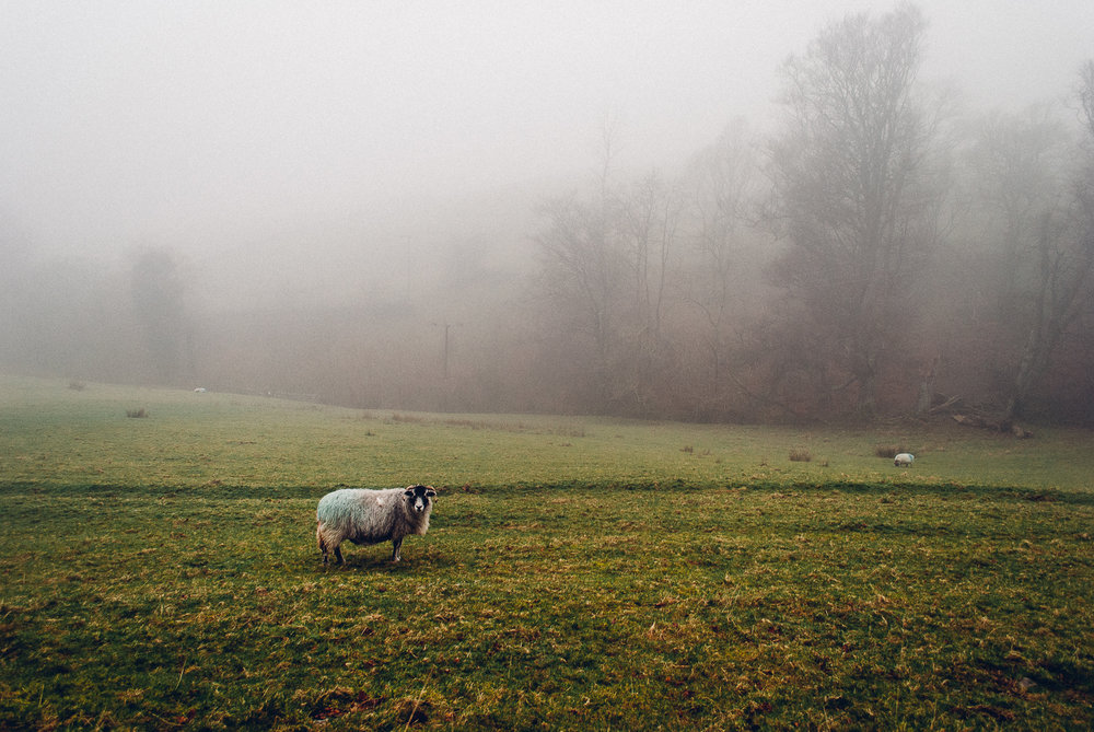English Sheep Limited Edition / $60.00 / Lake District, England / 3 of 3 sold