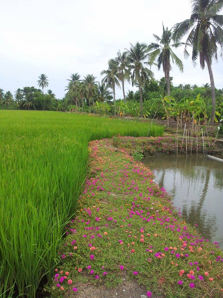 My cousin's organic rice farm in rural Thailand