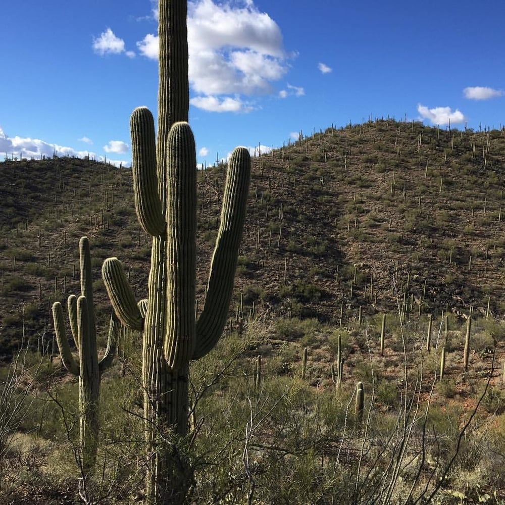 The famed Saguaros (cacti) in the Sonoran Desert.
