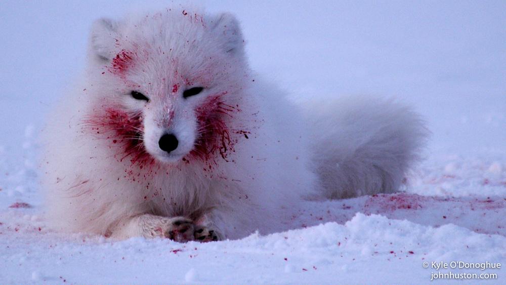 Feasting fox