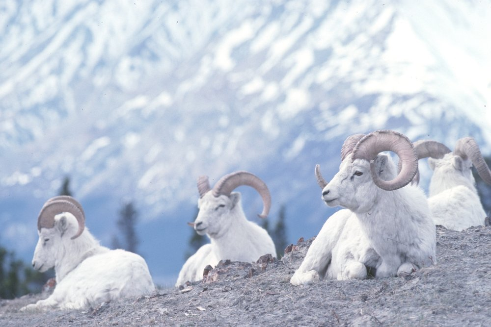 Northern Big Horn Sheep, NWT