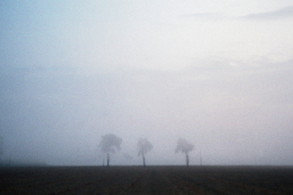 Solitary trees on a foggy morning
