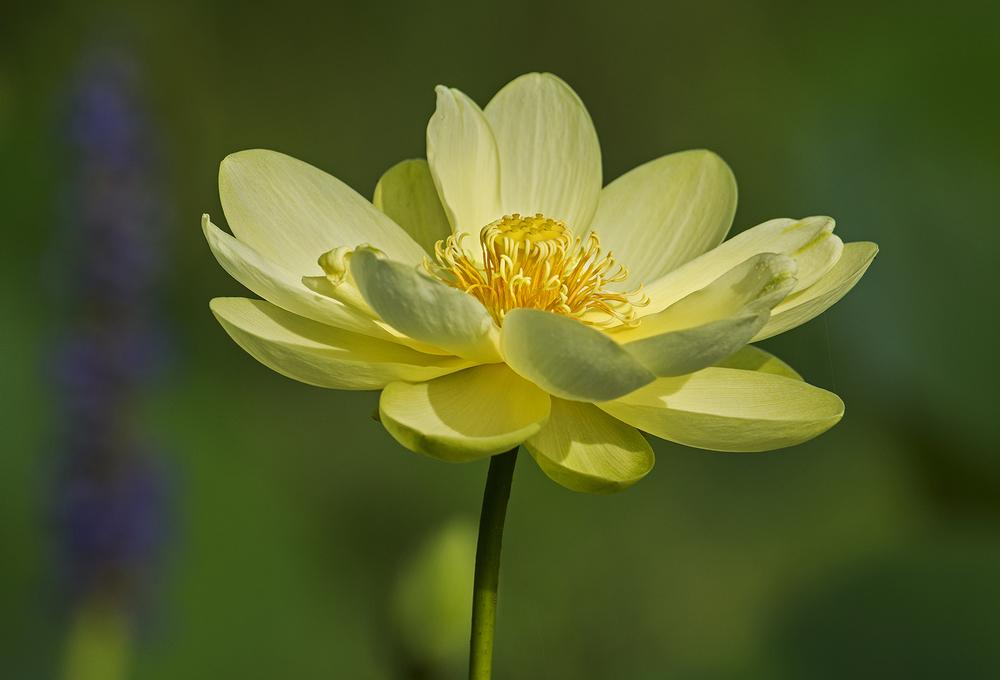 American Lotus.jpg