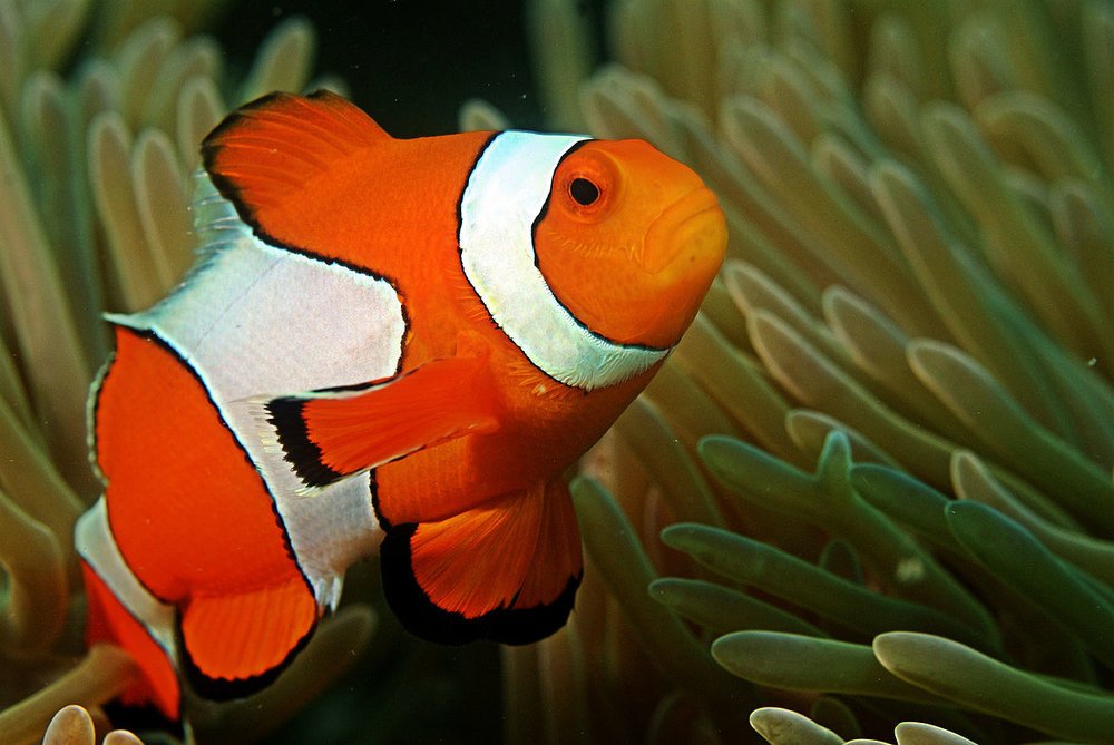 Clown_fish_in_the_Andaman_Coral_Reef.jpg