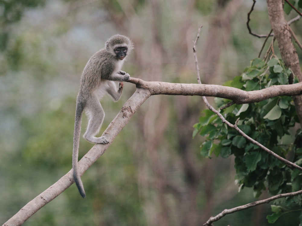 A young vervet exploring a tree branch