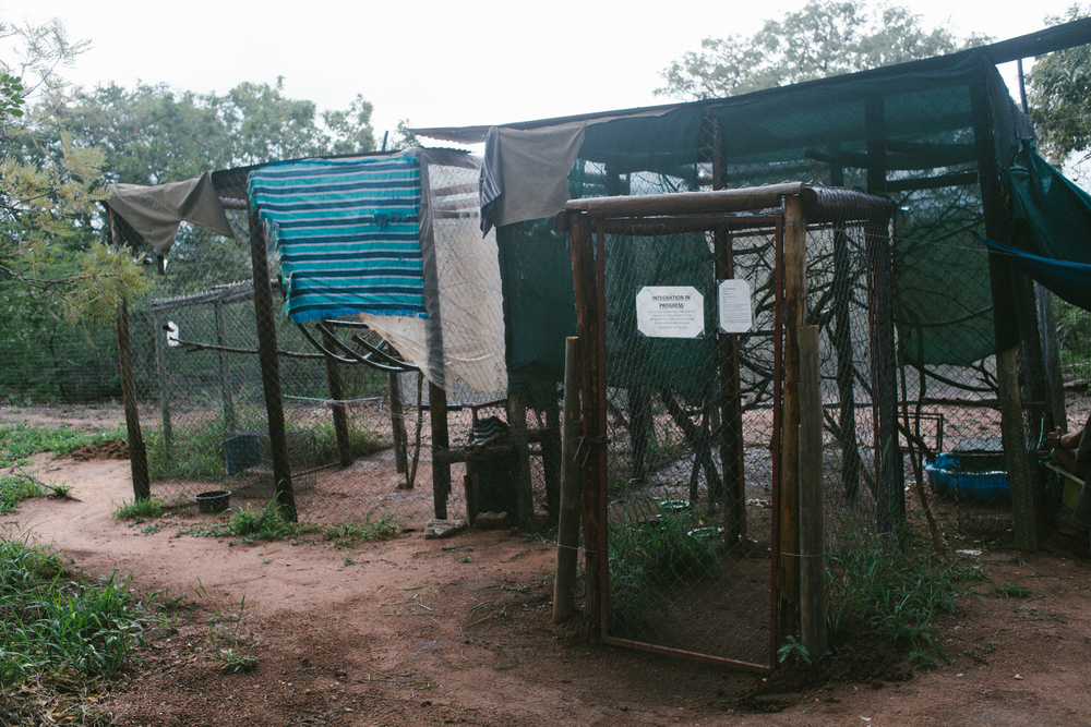 An integration enclosure where baby monkeys are introduced into troops
