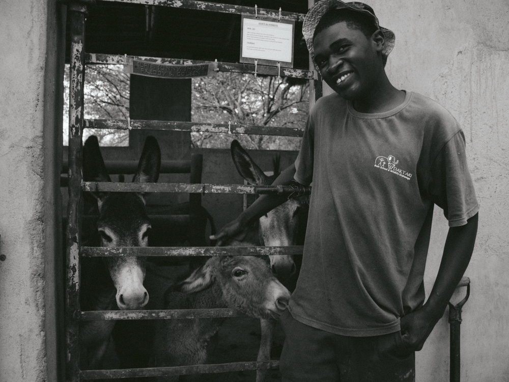 Tato, a worker at Daktari, puts the donkeys in the barn for the night