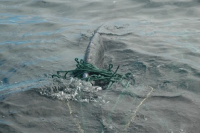 Humpback entangled in gear, South East Bight, 2008