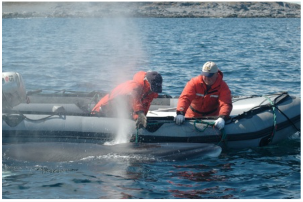 Releasing Minke Whale from gear, Wild Bight, 2007