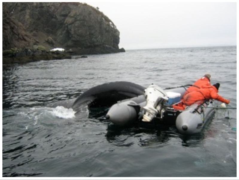 Releasing a humpback whale from a herring net, Southern Harbour, Placentia Bay, NL (March, 2011).