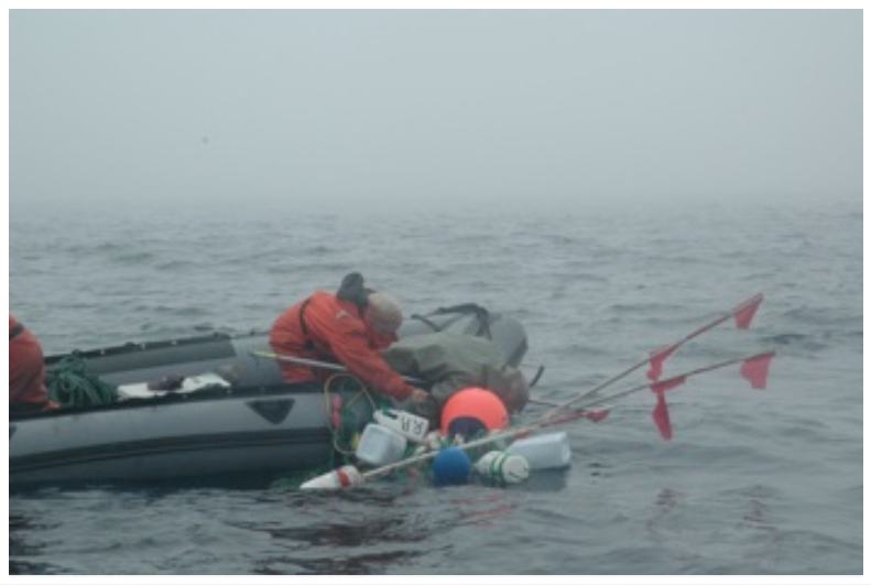 Under all of this fishing gear is a humpback whale, which has dragged 6 fleets of cod gillnets together. South East Bight, Placentia Bay, NL. (2008).