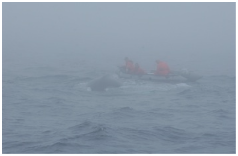 Releasing a humpback whale in the fog, Grand Banks, NL (2006).