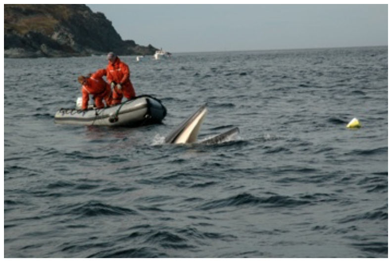 Releasing a minke whale that is engtangled in flounder nets, Quirpoon, Northern Peninsula, NL. (2009)