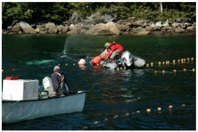 A humpback whale is released from a mackerel trap, white Bay NL. (2008)