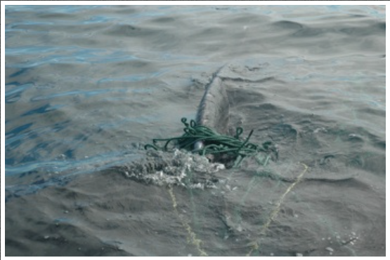 A humpback whale entangled in cod gillnet and haul up rope near South East Bight, NL. (2008)