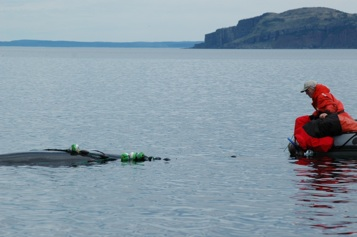 A minke whale being released from herring nets Belleview Trinity Bay, NL. (2005)