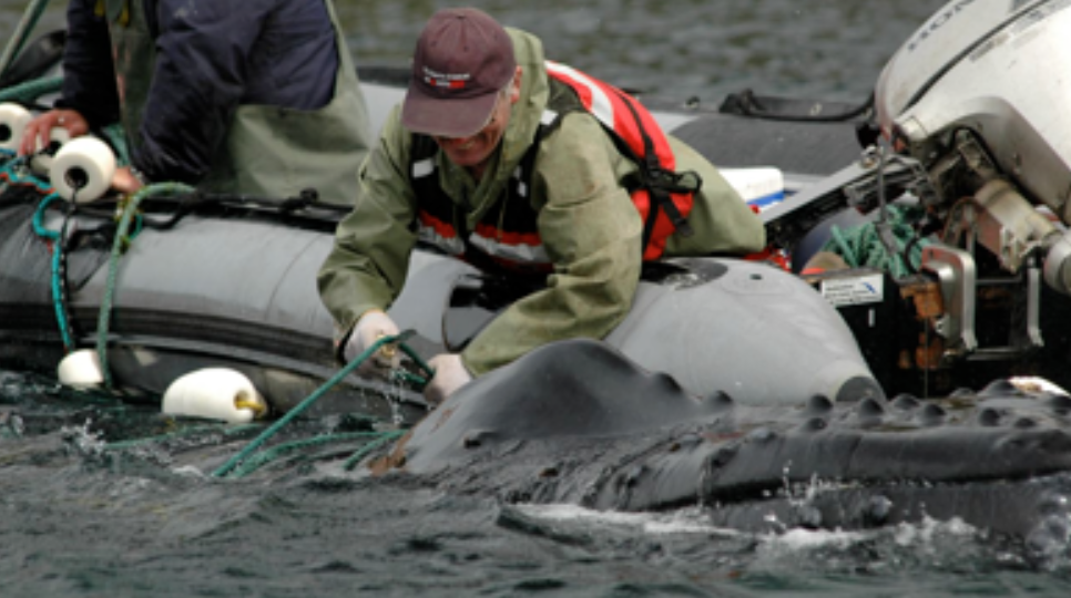 Wayne Ledwell, of Whale Release and Strandings, releases a humpback whale caught in a capelin trap in Bay de Verde. July, 2008
