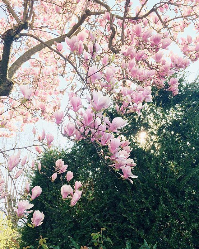 Euer Feed quillt wahrscheinlich auch gerade über vor Magnolien- und Kirschblüten-Bildern wie meiner 😄 trotzdem komme ich nicht drum herum, auch eins zu posten. Die letzten Wochen bin ich jeden Dienstag Morgen in der Klinik für die geburtsvorbereitende Akupunktur und heute früh standen endlich alle Bäume in voller Blüte 🌸So ein schöner Anblick 😍Ich hoffe ja trotzdem, dass wenn ich das nächste Mal an diesem Baum vorbeikomme, es bedeutet, dass unsere kleine Maus sich auf den Weg macht 😉Genießt euren sonnigen Tag! #magnolie #magnolia #sonne #frühling #hellospring #gutenmorgen #akupunktur #waitingforbaby #iphone #vsco #aprilbaby2017 #teamrosa #thankful #ssw40