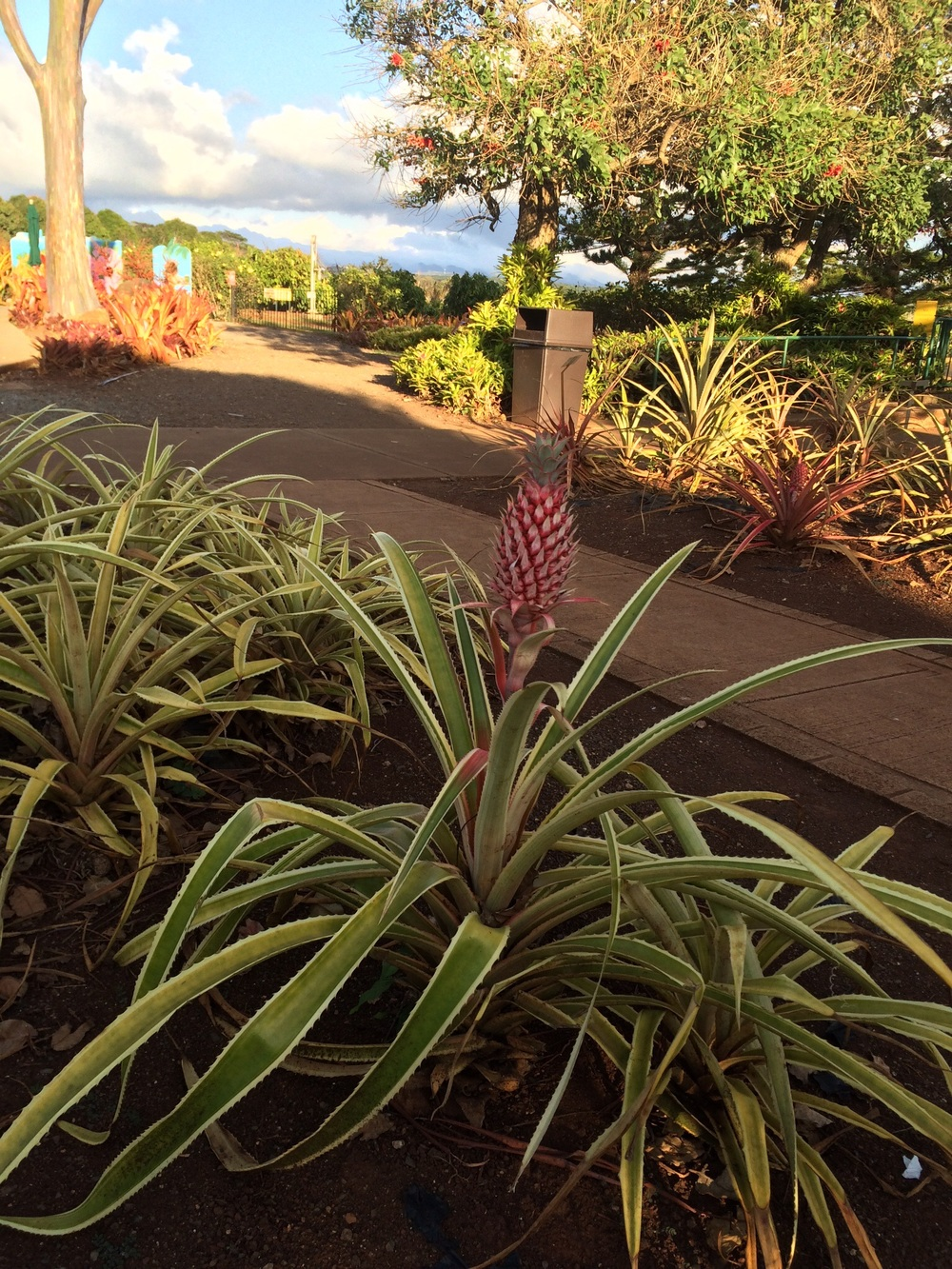 Pineapple plant at the Dole Plantation