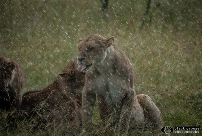Masai Mara lions in the rain