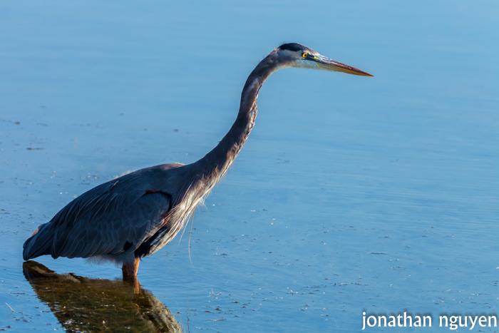 blue heron 2