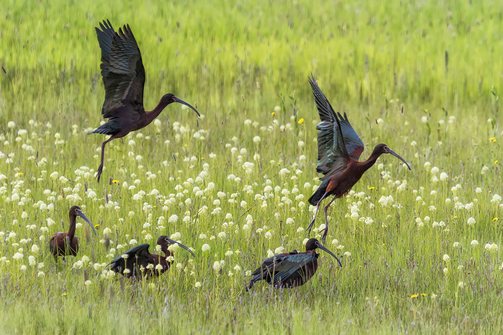 White Faced Ibis Flock Rising No 1.jpg