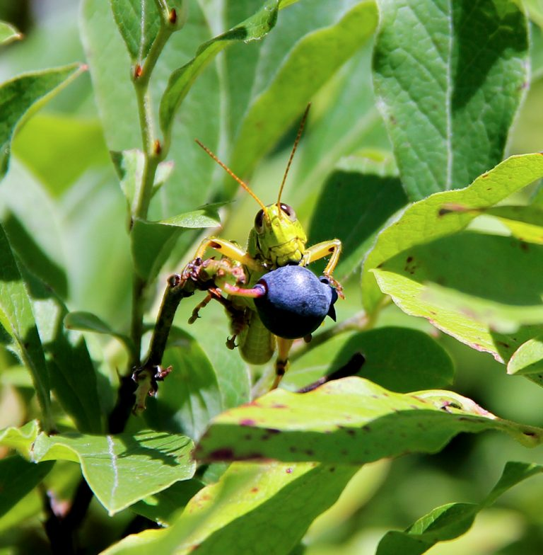 grasshopper-eating-blueberry-summer-maine-new-england-768x784.jpg