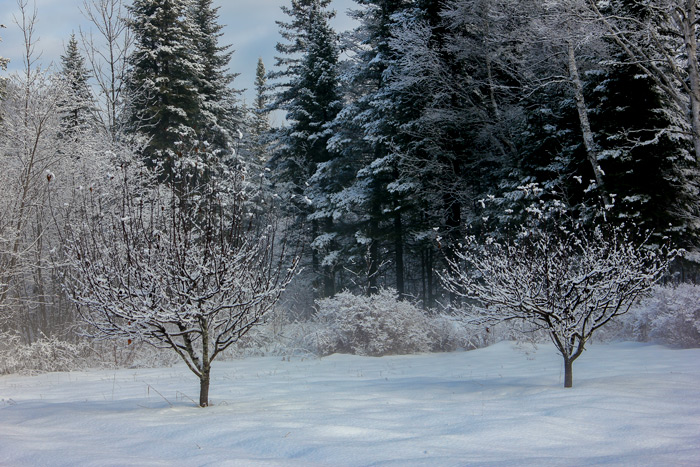 snow-covered-apple-trees-in-maine.jpg