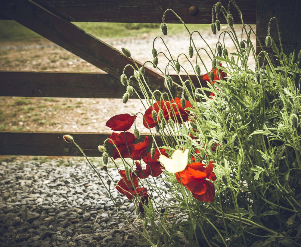 Poppies by the front gate