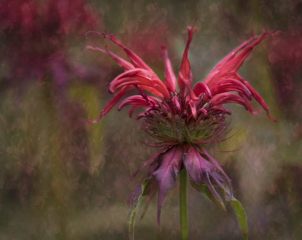 The Monarda's are blooming