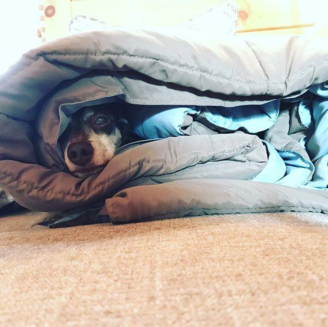Dachshund taco / Taco Dachshund #dogsofinstagram #doxiesofinstagram #doxie #dachshund