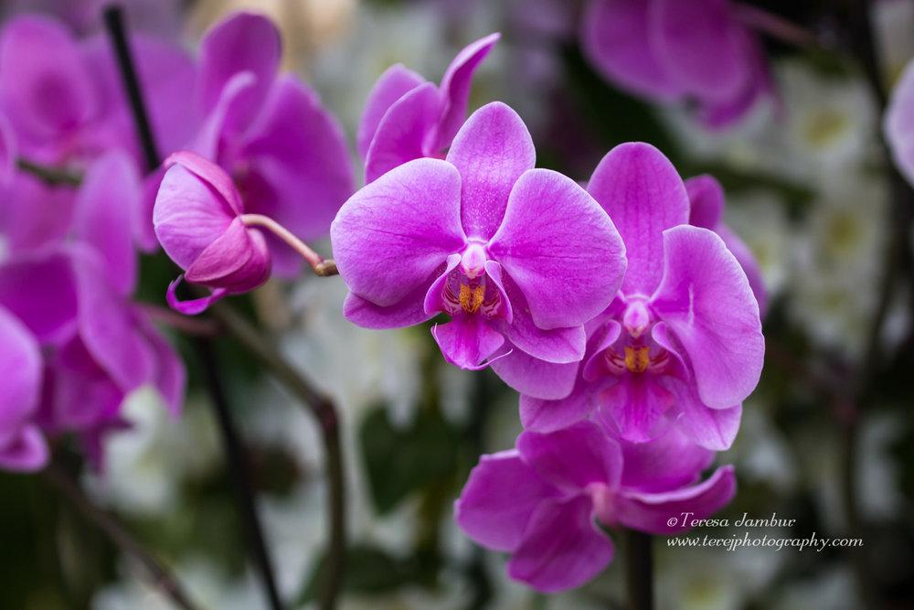 Kew Orchids-1.jpg