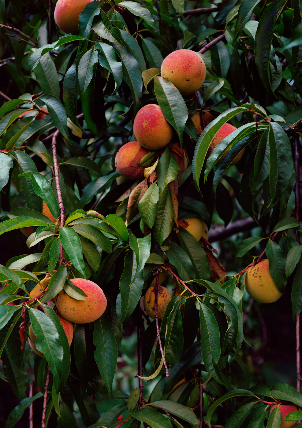 Untitled (Peach Tree), 2016  50 x 35.25 inches (127 x 89.54 cm)  Large Format Negative, Archival Inkjet Print