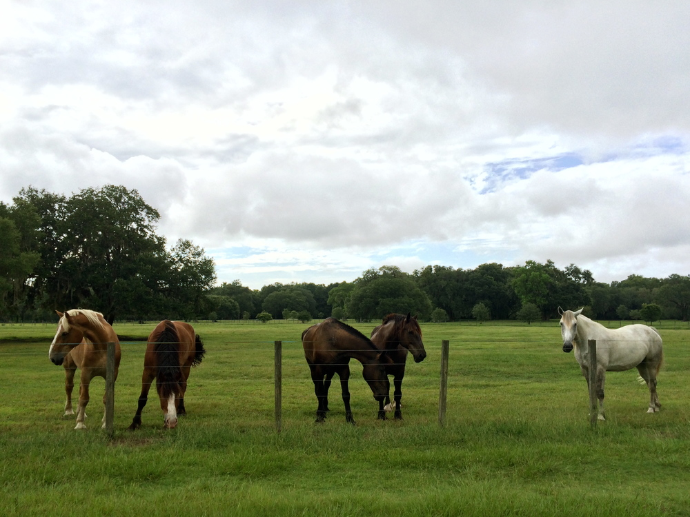 Some of the Old South Carriage Company horses at the farm on John's Island, SC.
