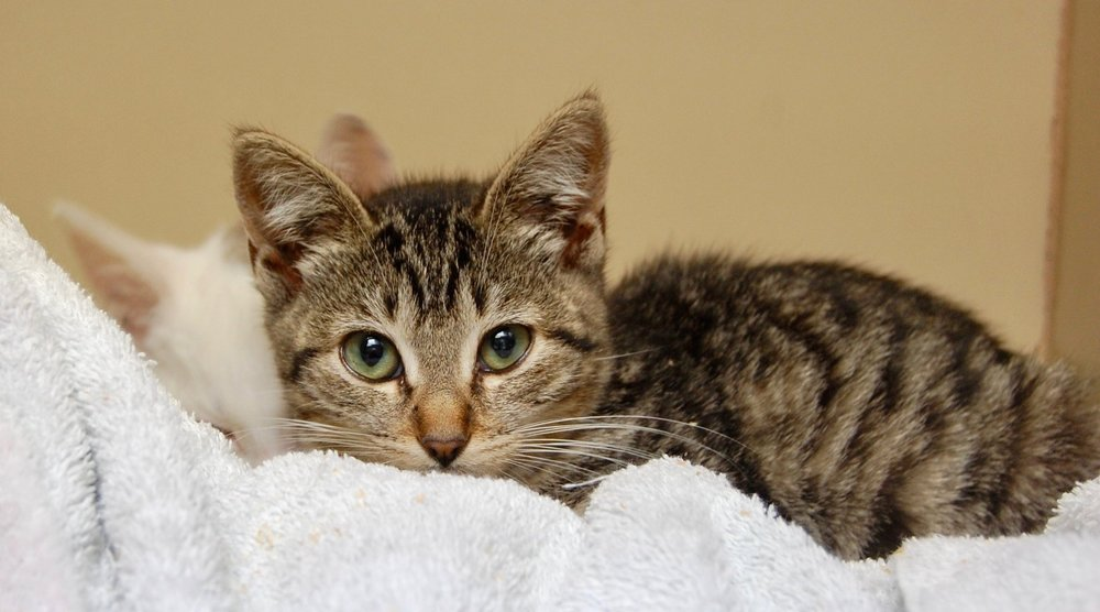 One of the Forgotten Kittens at the shelter who will soon be placed with Cat Town. Photo by Cathy Niland.