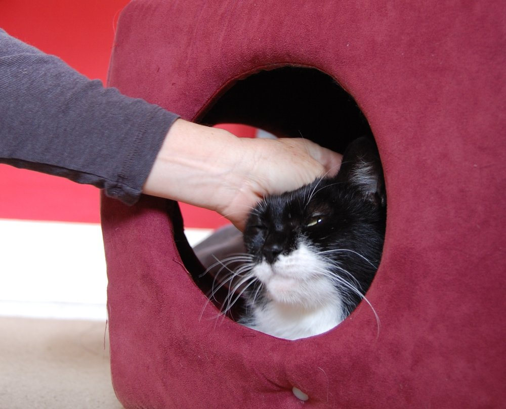 Didi gets pets from her foster mom while relaxing in her cubby bed.